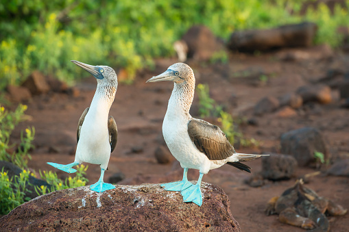 A pair of blue-footed boobys (Sula nebouxii) at Galapagos Islands in the Pacific Ocean. The male bird is dancing to impress the female. The dance also includes \