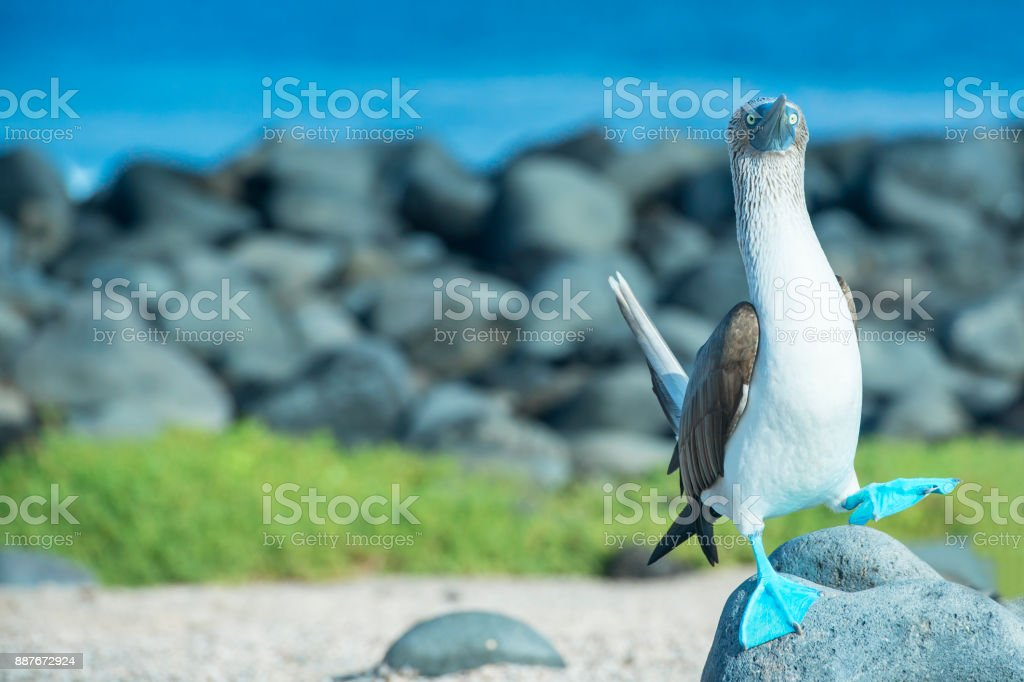 Blue-footed booby (Sula nebouxii) at Galapagos islands stock photo