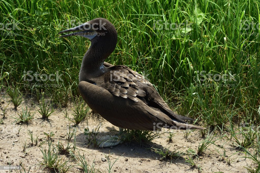 Blue-footed booby bird in Ecuador stock photo