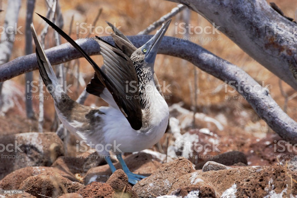 Blue-footed booby (Sula nebouxii) displaying, North Seymour, Galapagos Island stock photo