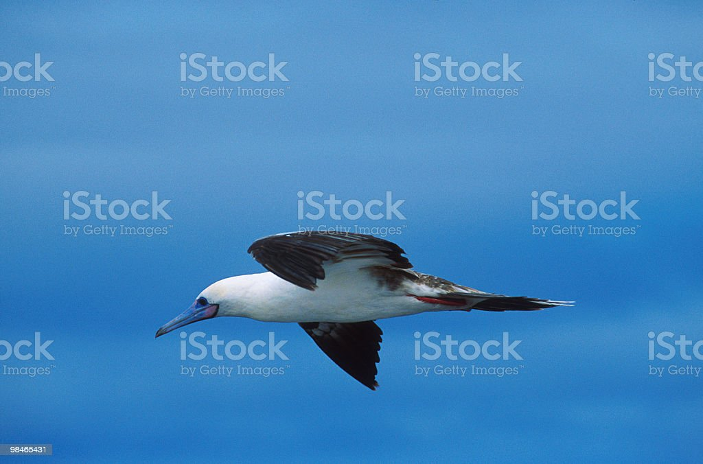 Blue-footed booby flying in the blue sky royalty-free stock photo