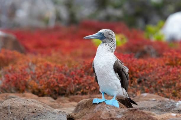 blue-footed booby, galapagos islands - comportamento animal imagens e fotografias de stock