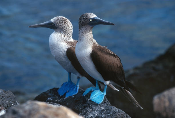 blue-footed booby pair lava rock santa cruz galapagos ecuador - uccello marino foto e immagini stock