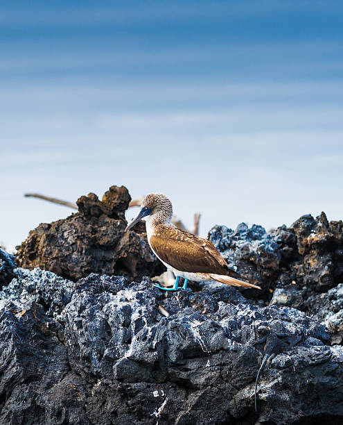 Blue-Footed Booby stock photo