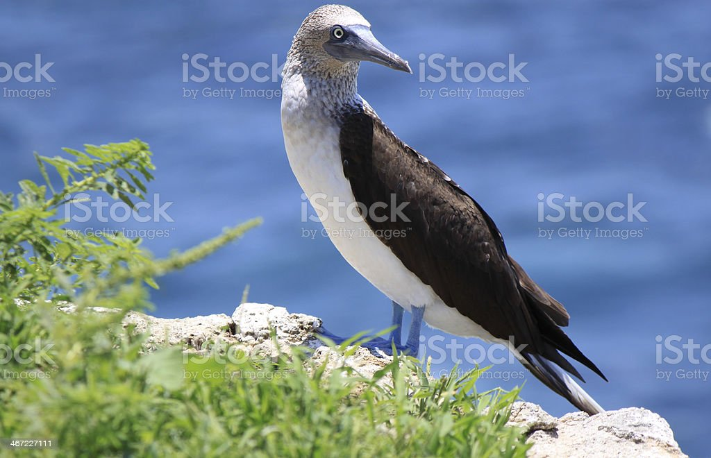 Blue-footed booby (Sula nebouxii) royalty-free stock photo