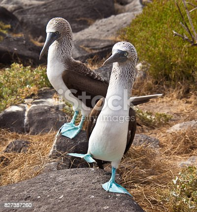 Blue-Footed Booby doing mating dance