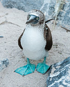 Blue-footed Booby standing on a sandy beach, on Espanola Island, the Galapagos