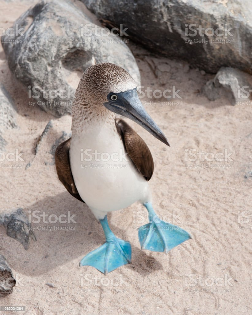 Blue-footed Booby standing on sand on Espanola the Galapagos stock photo