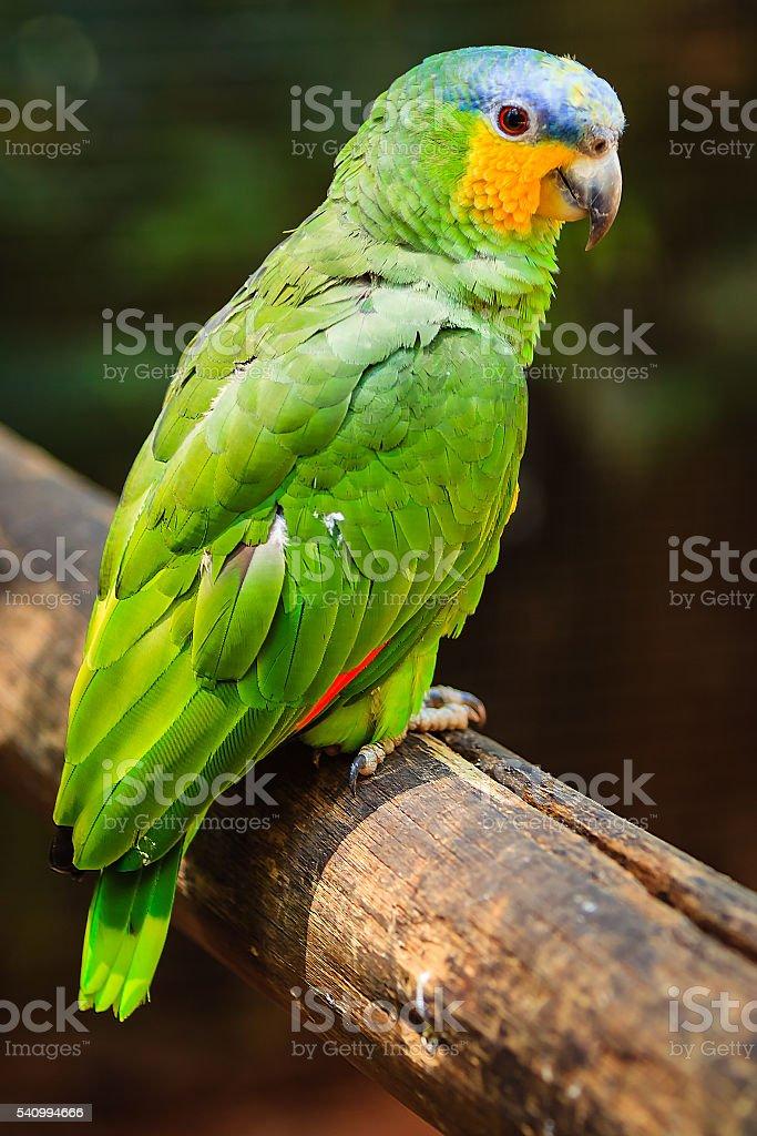 Blue fronted Amazon oder Amazona Aestiva – Foto