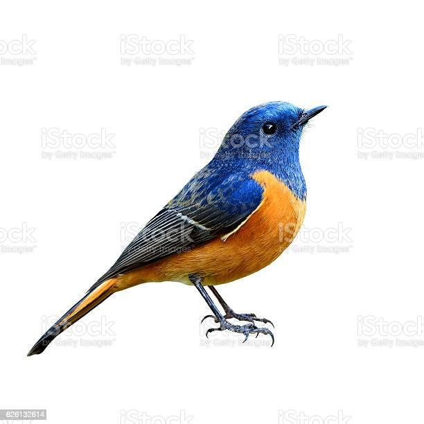 Bluefronted redstart the beautiful blue picture id626132614?b=1&k=6&m=626132614&s=612x612&h=cespircf840l3zk4959eambht8janfk22gniwwe5lfq=