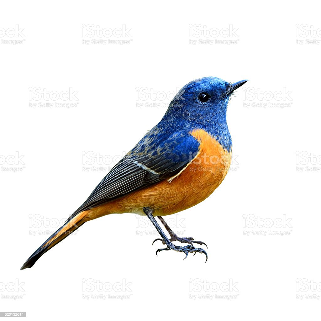 Blue-fronted Redstart (Phoenicurus frontalis) the beautiful blue - foto de acervo