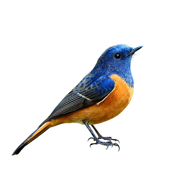 Blue-fronted Redstart (Phoenicurus frontalis) the beautiful blue stock photo