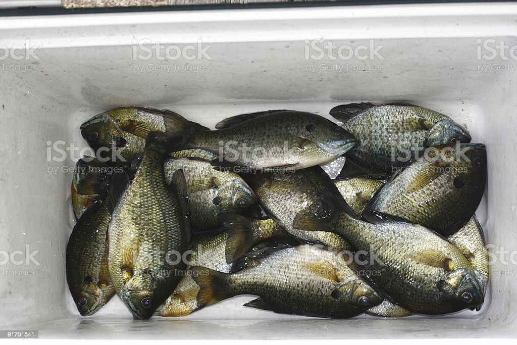 Bluegill Catch Of The Day stock photo