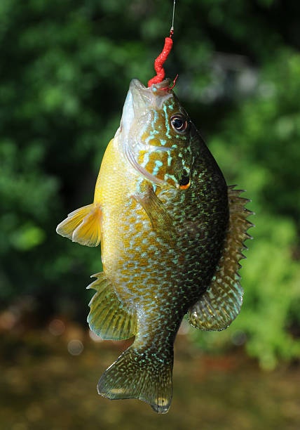Bluegill Caught on a Summer Day stock photo