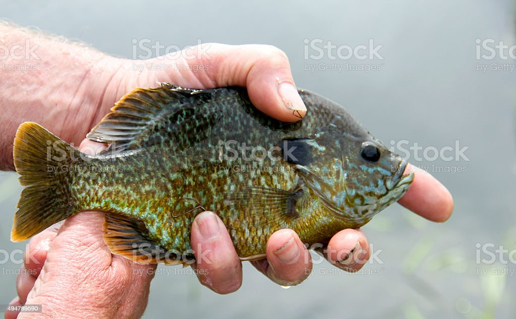 Bluegill close up caught fishing stock photo