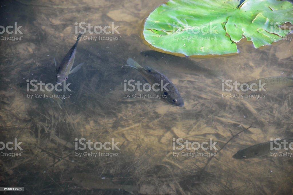Bluegill Fish stock photo