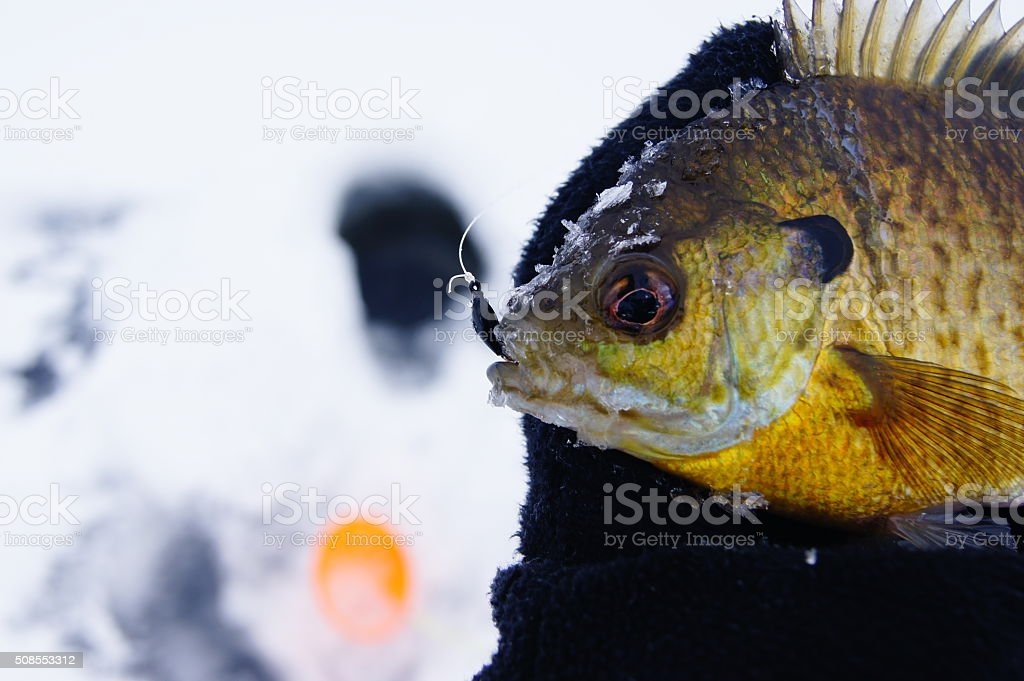 Bluegill out of ice stock photo