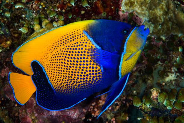 blue-girdled angelfish fish stock photo