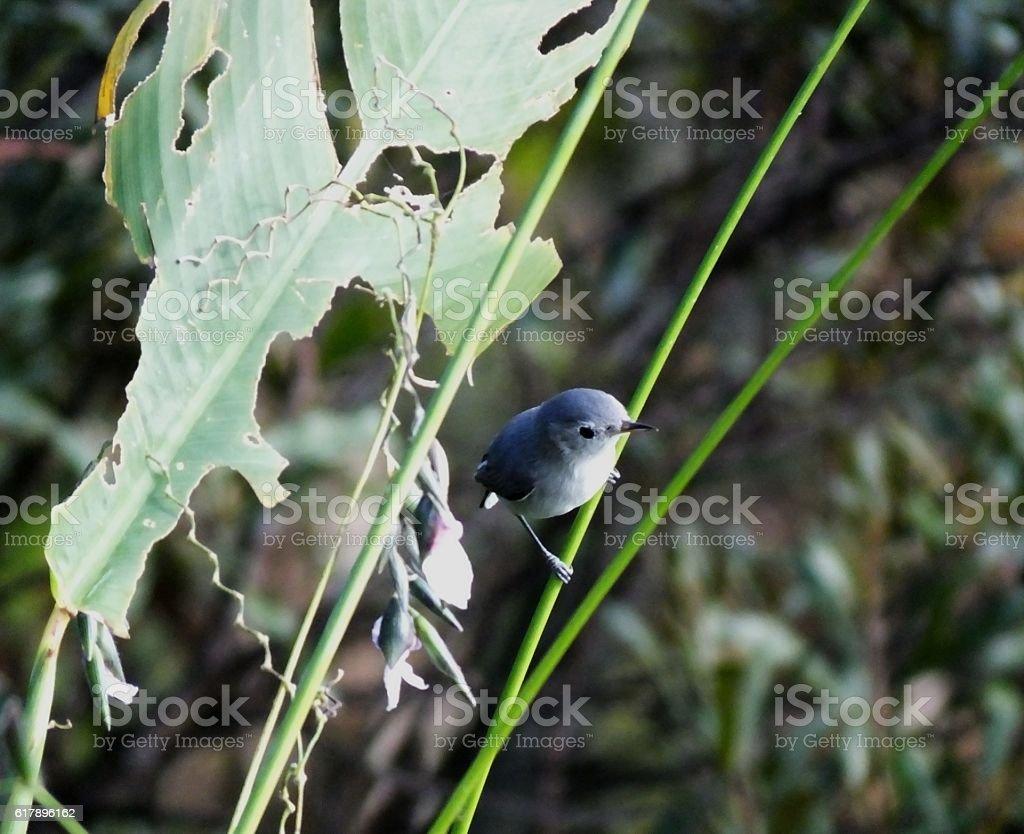 Blue-gray Gnatcatcher (Polioptila caerulea) stock photo