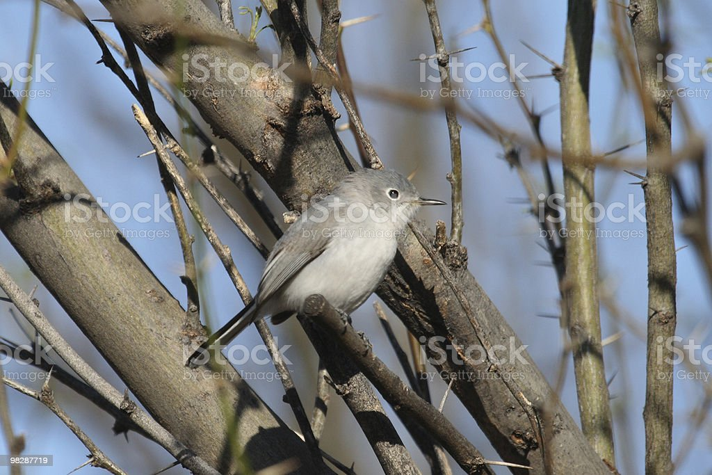 Blue-gray gnatcatcher royalty-free stock photo