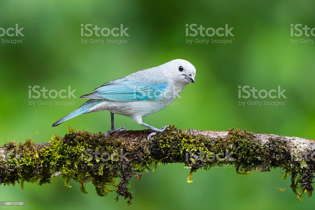 Beautiful blue bird in the wild. Blue-gray tanager perching in Costa...