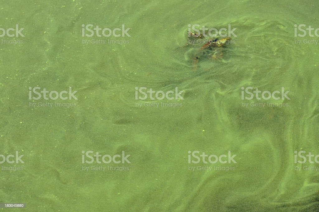 Blue-Green Algae Bloom Close-up stock photo