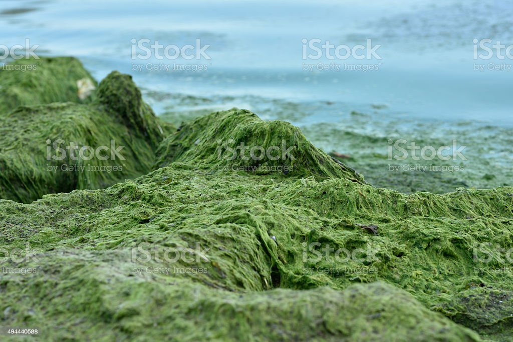 Blue-green algae blooms in the Gulf of Finland stock photo