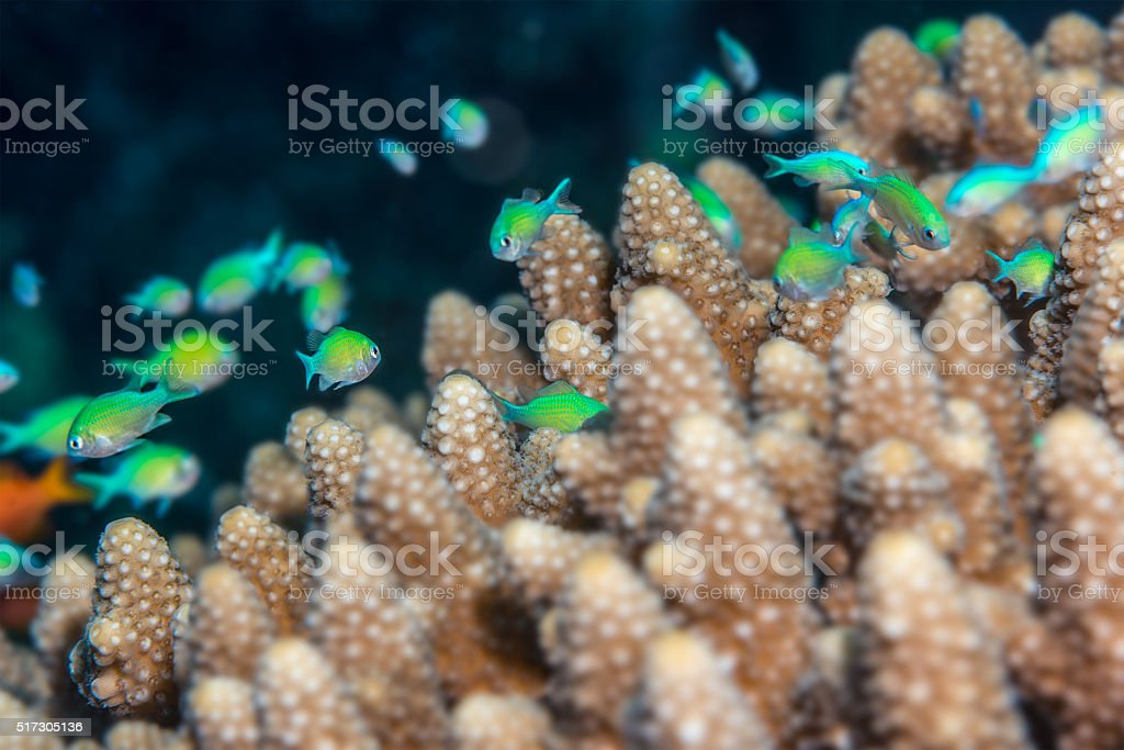 Bluegreen chromis on Acropora stock photo