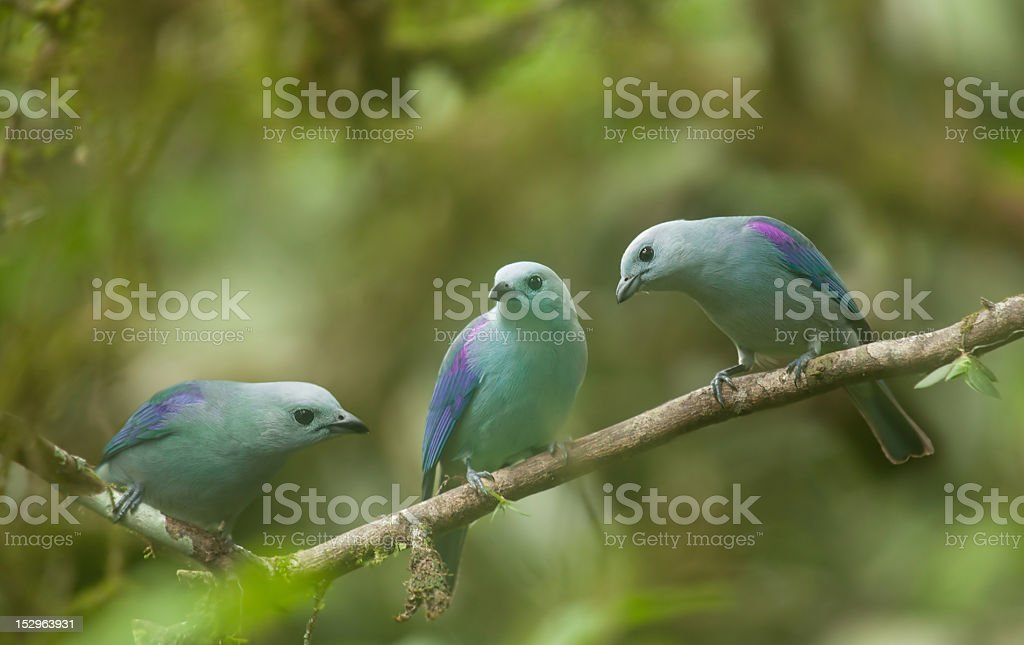 blue-Grey Tanagers stock photo