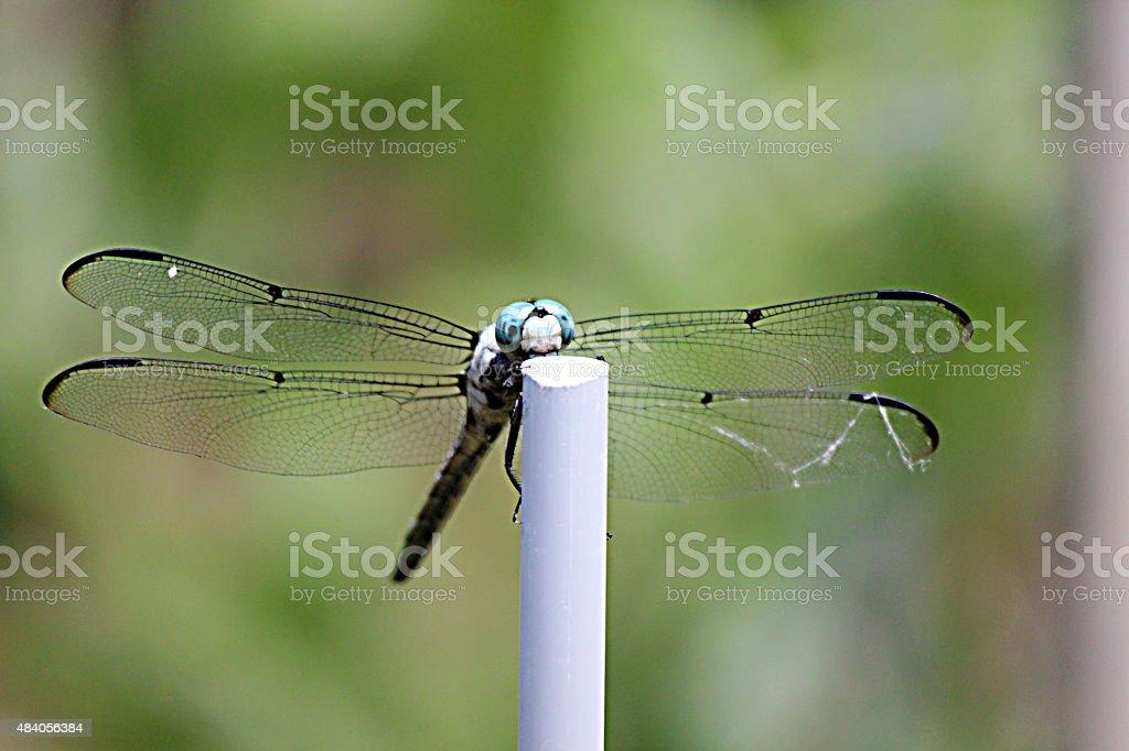Blue-headed Dragonfly Observes Photographer in Garden stock photo