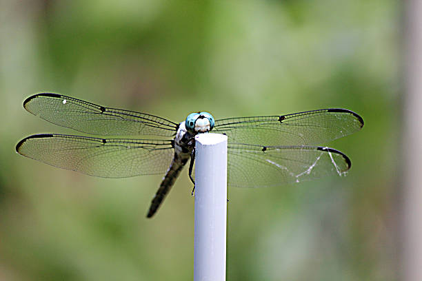 blue-headed dragonfly observes photographer in garden - pam schodt stock photos and pictures