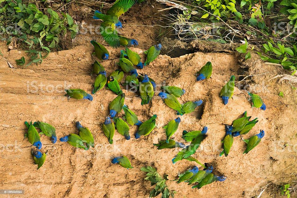 Blue-headed Parrots at Clay Lick stock photo