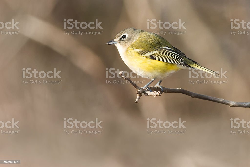 Blue-headed Vireo stock photo