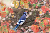 A brilliant bluejay is perched in a maple tree among colourful fall leaves.