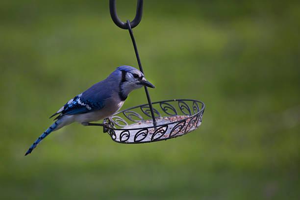 Bluejay in Spring stock photo