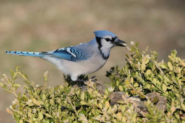 Bluejay stock photo