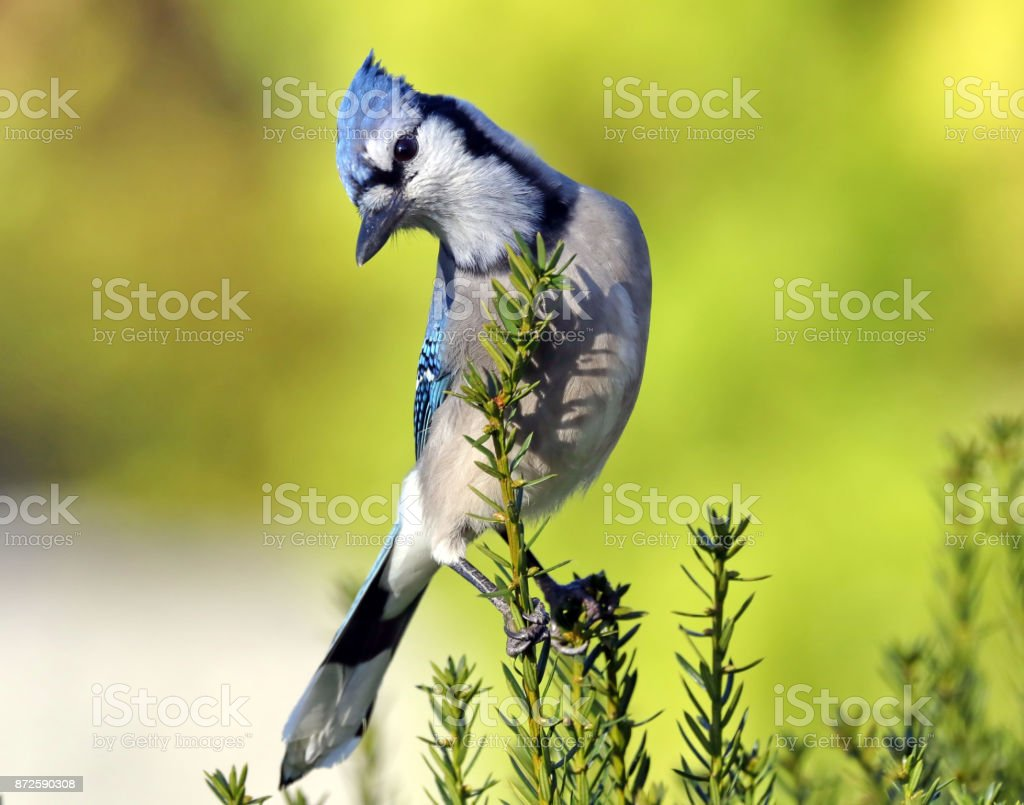 Bluejay stock photo