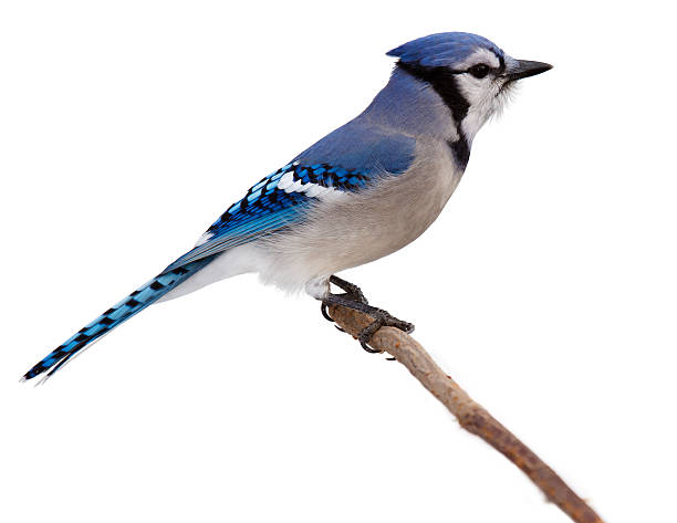 Bluejay scans its surroundings picture id621137772?b=1&k=6&m=621137772&s=612x612&w=0&h=e0qau8l8qkbgpcqh76 4bcp2o7ktncjzgl7 a93fghk=