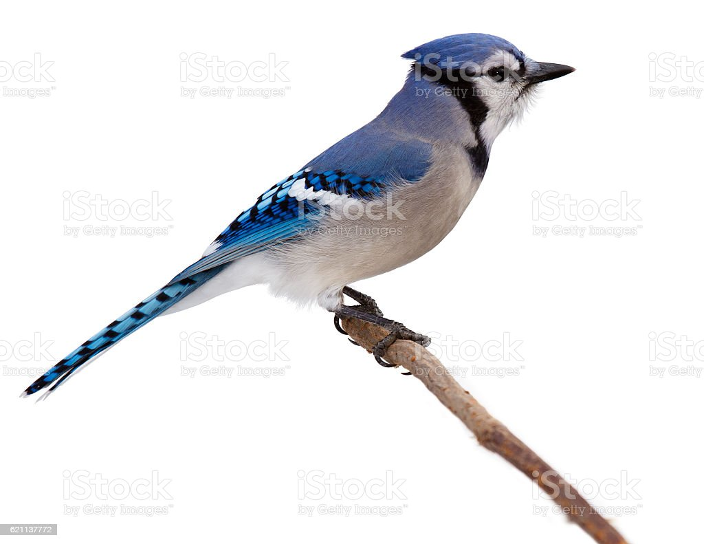 bluejay scans its surroundings stock photo