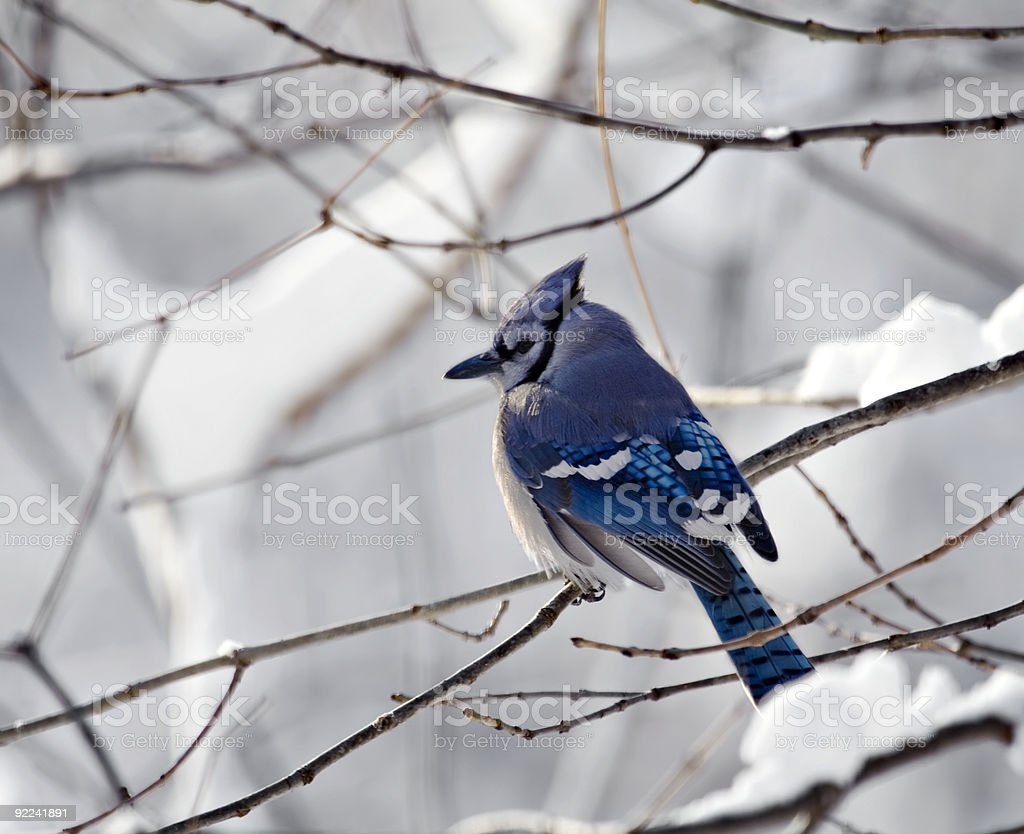 Bluejay With Snowy Background 2 stock photo