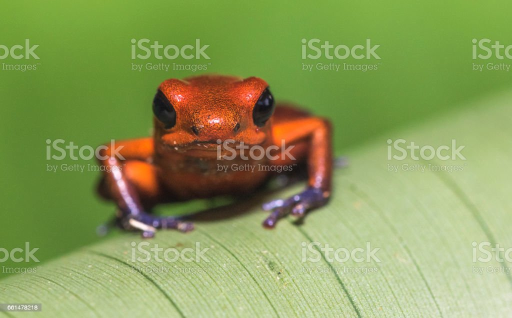 Bluejeans Frog Or Strawberry Poisondart Frog Dendrobates Pumilio ...