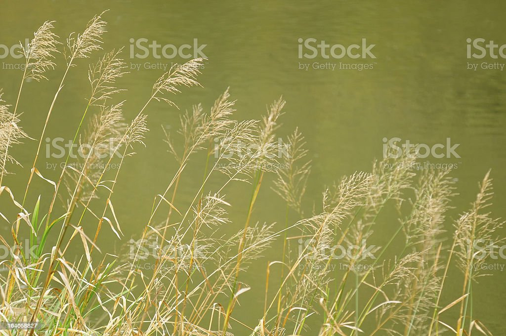 Bluejoint Reedgrass Growing by the River stock photo