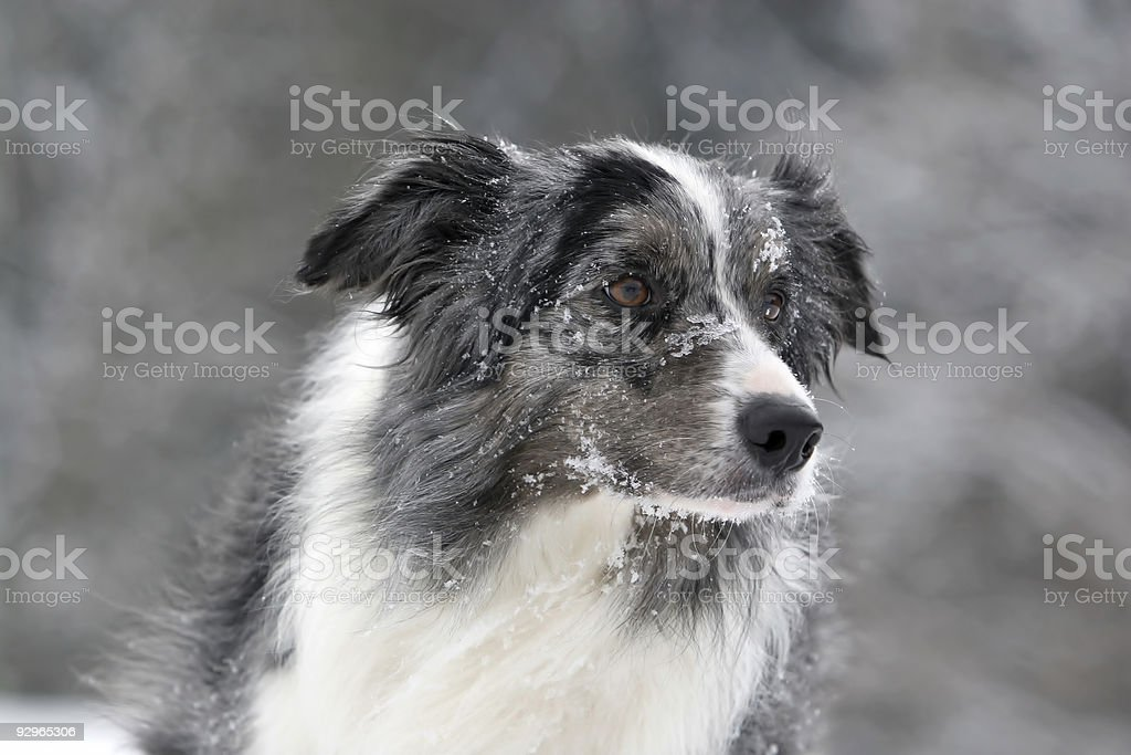 Bluemerle border collie royalty-free stock photo
