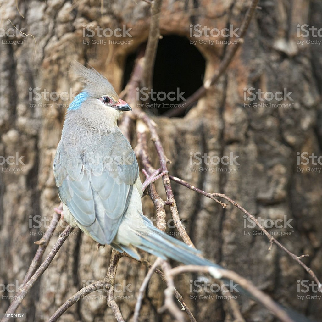 Blue-naped Mousebird,  Blaunacken-Mausvogel, Urocolius macrourus royalty-free stock photo