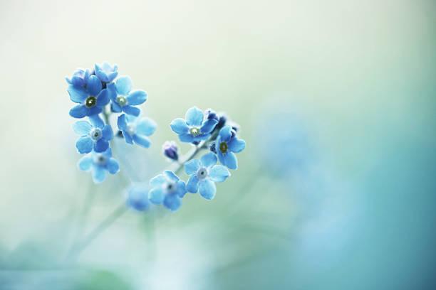blueness - miosótis - fotografias e filmes do acervo