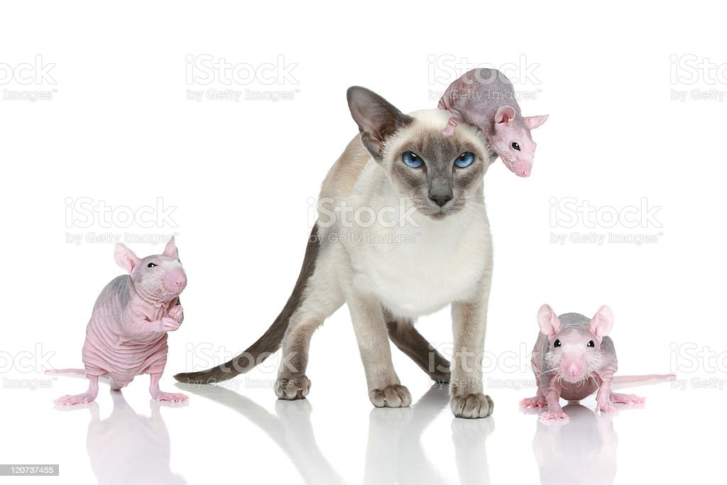 Blue-point oriental cat with three rats royalty-free stock photo