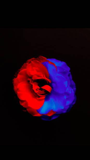 Blue-red rose flower. Wallpaper for mobile. stock photo