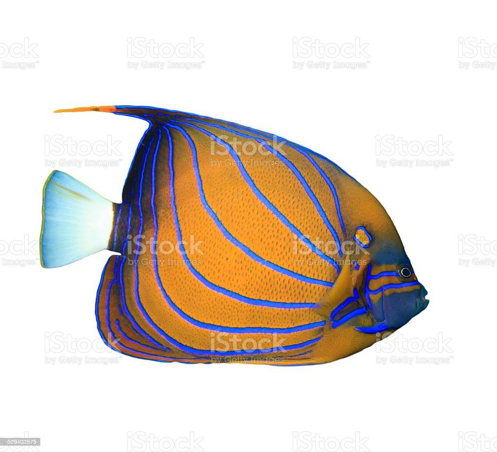 Bluering Angelfish stock photo