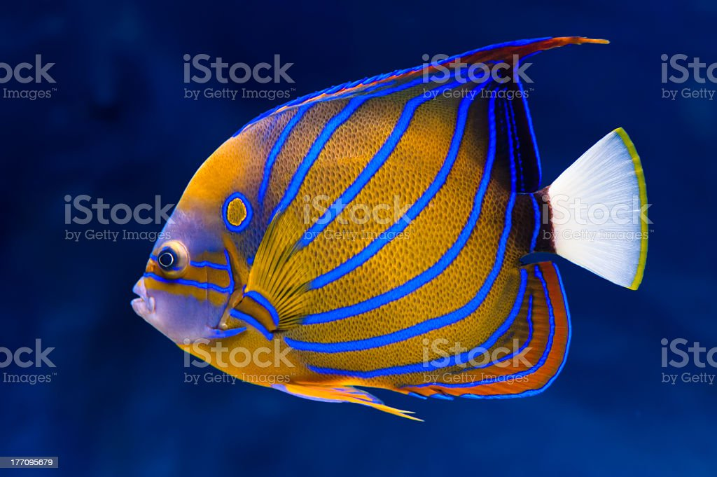 Bluering orange and blue angelfish with white tail stock photo