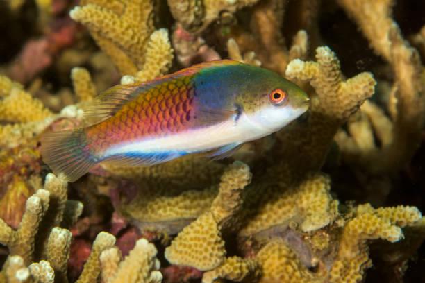 bluesided fairy wrasse fish stock photo